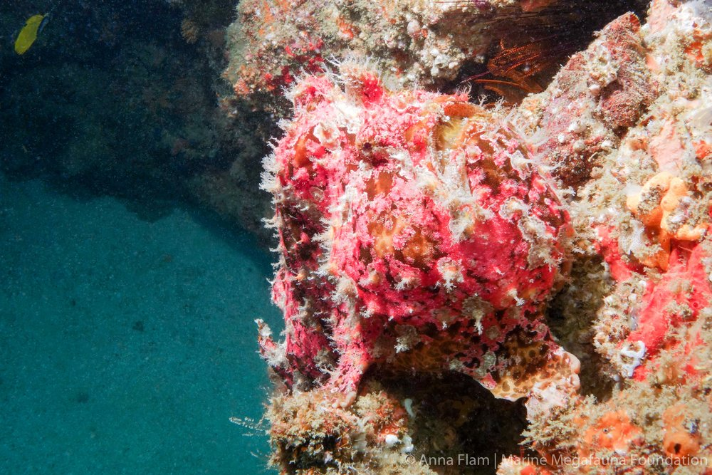 Frogfish at Manta-1.jpg