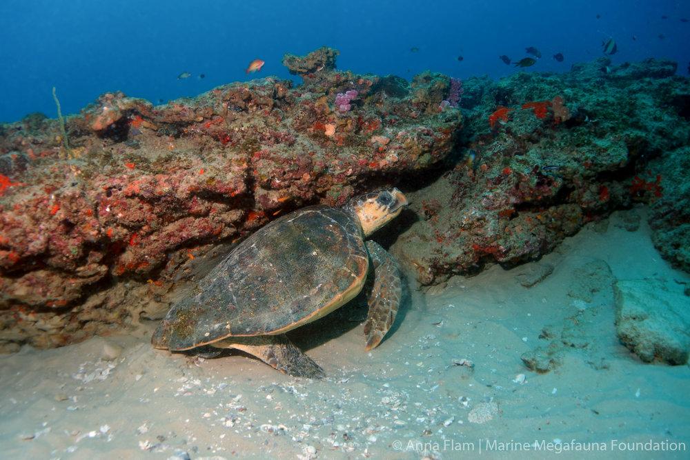 Resting loggerhead turtle-.jpg