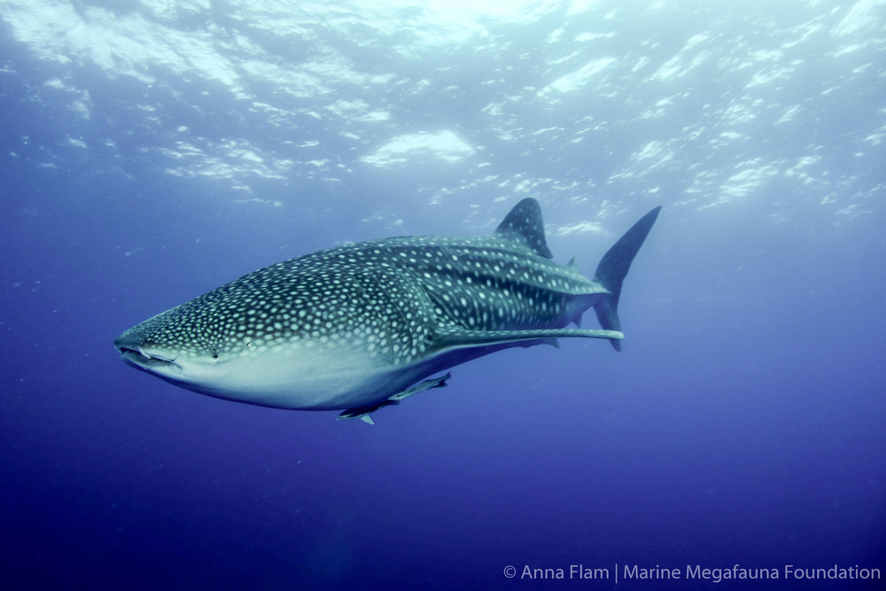 Little whale shark-01504.jpg