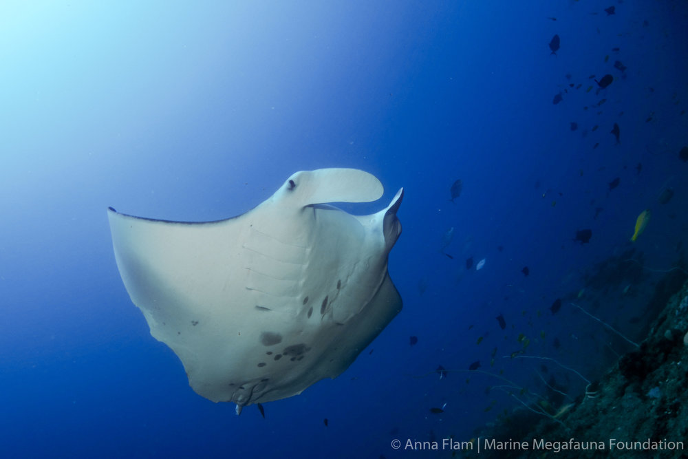 Reef manta up north-.jpg