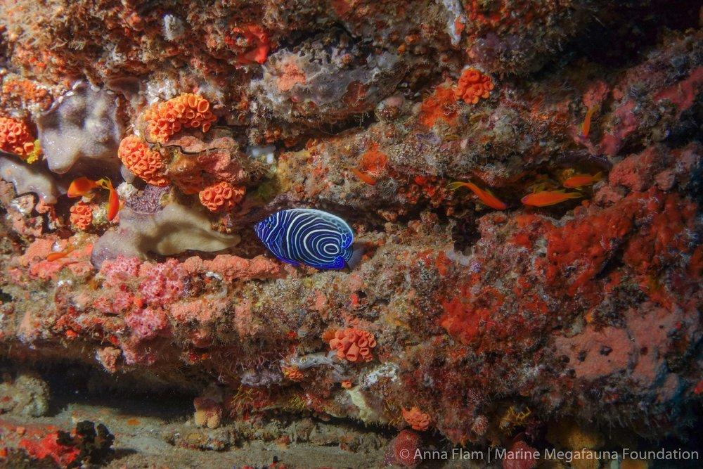 Juvenile emperor angelfish-01563.jpg