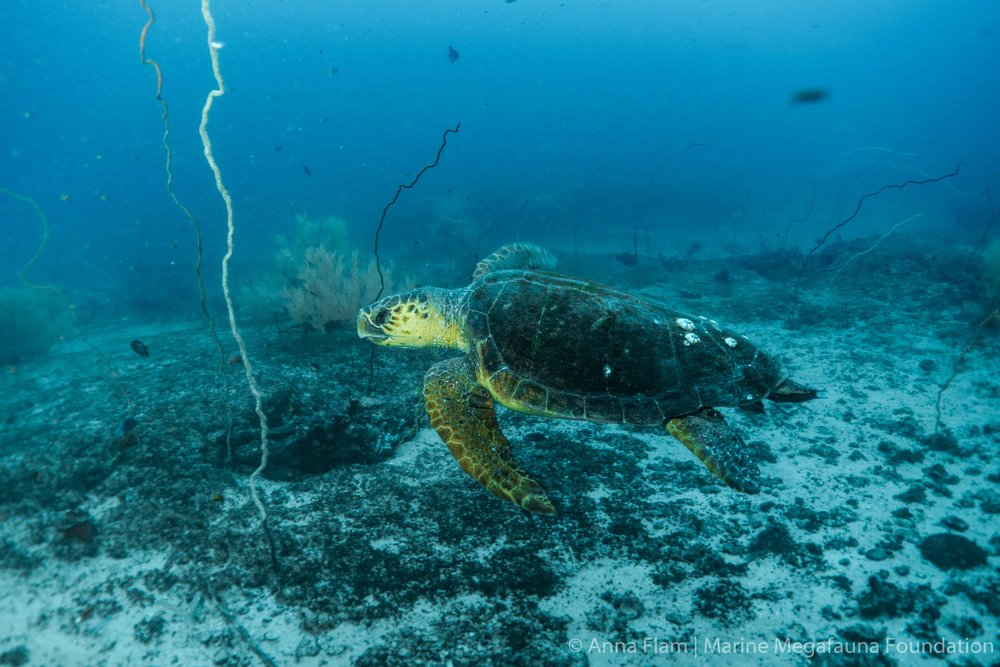 Swimming loggerhead turtle-01863.jpg