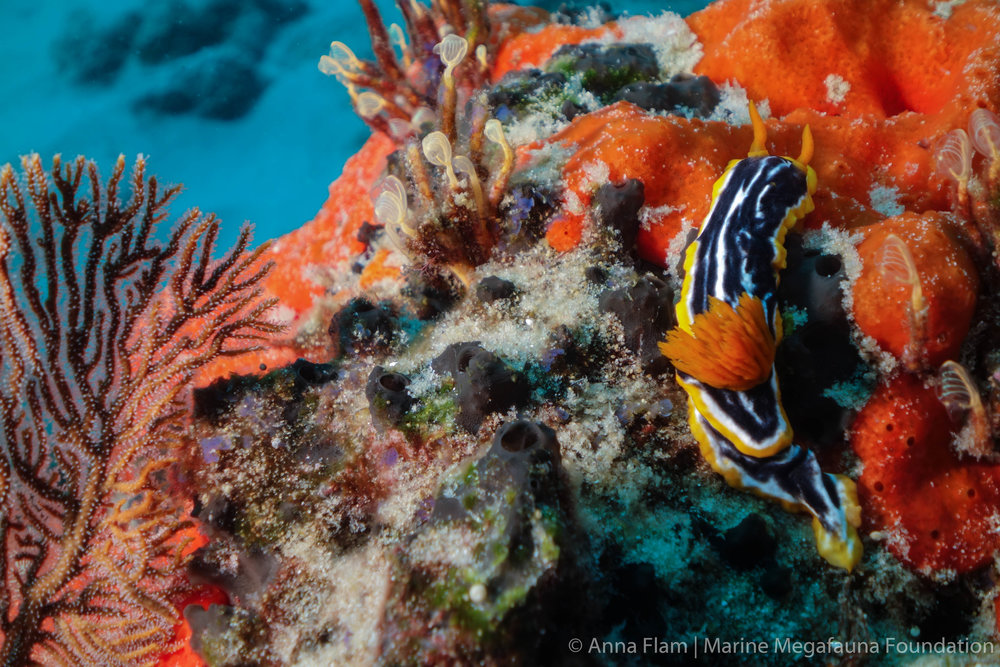 Nudibranch Chromodoris africana-02034.jpg