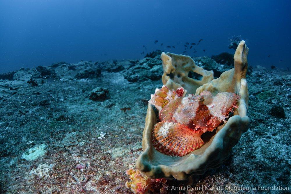Scorpionfsh in sponge-02531.jpg