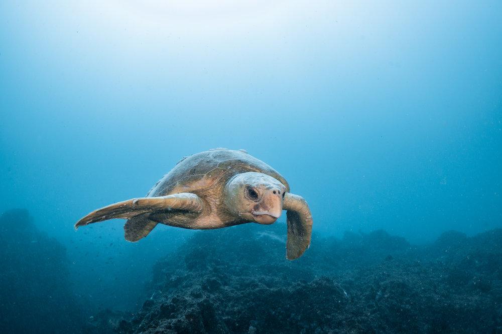 Loggerhead turtle-8124.jpg