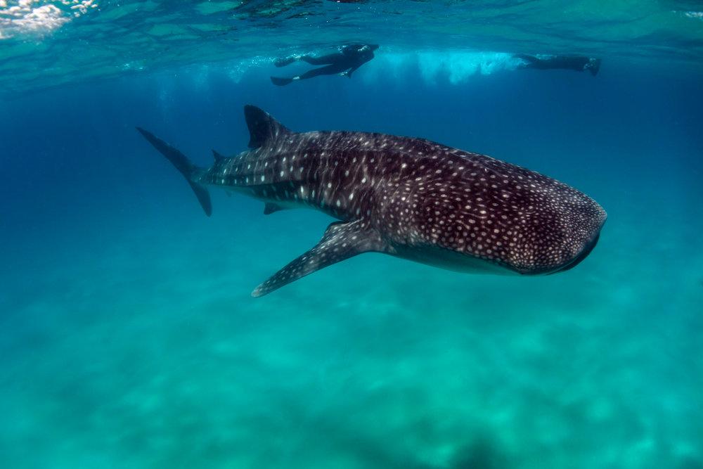 Whale shark and snorkelers-04460.jpg