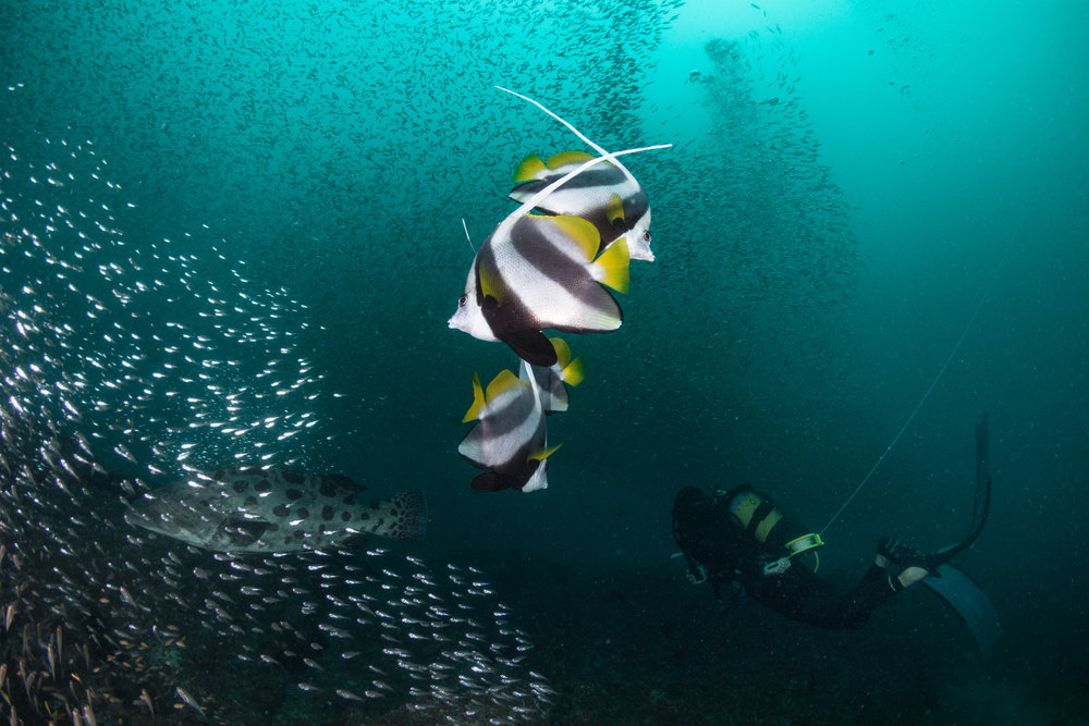 Bannerfish, Frida, grouper, and glassfish-6334.jpg