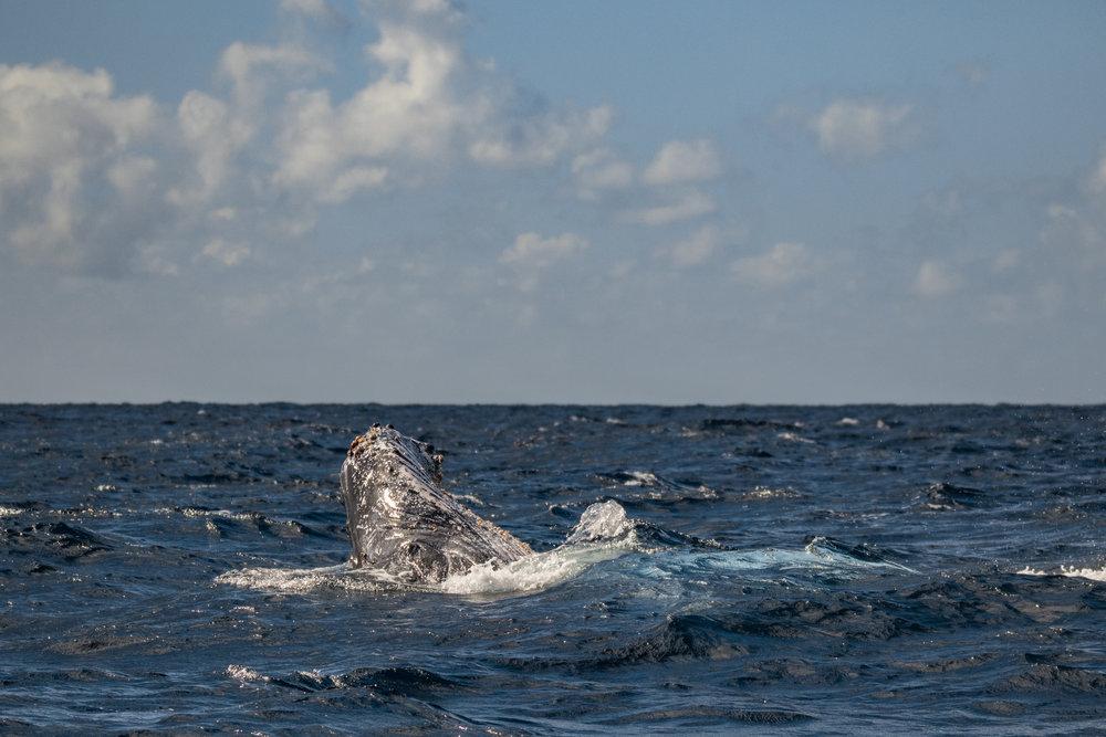 Lazy whale spyhop-8657.jpg