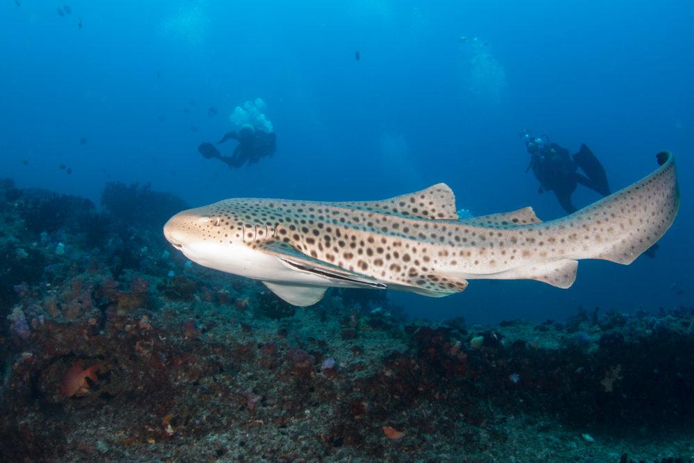 Swimming leopard shark - 6229.jpg