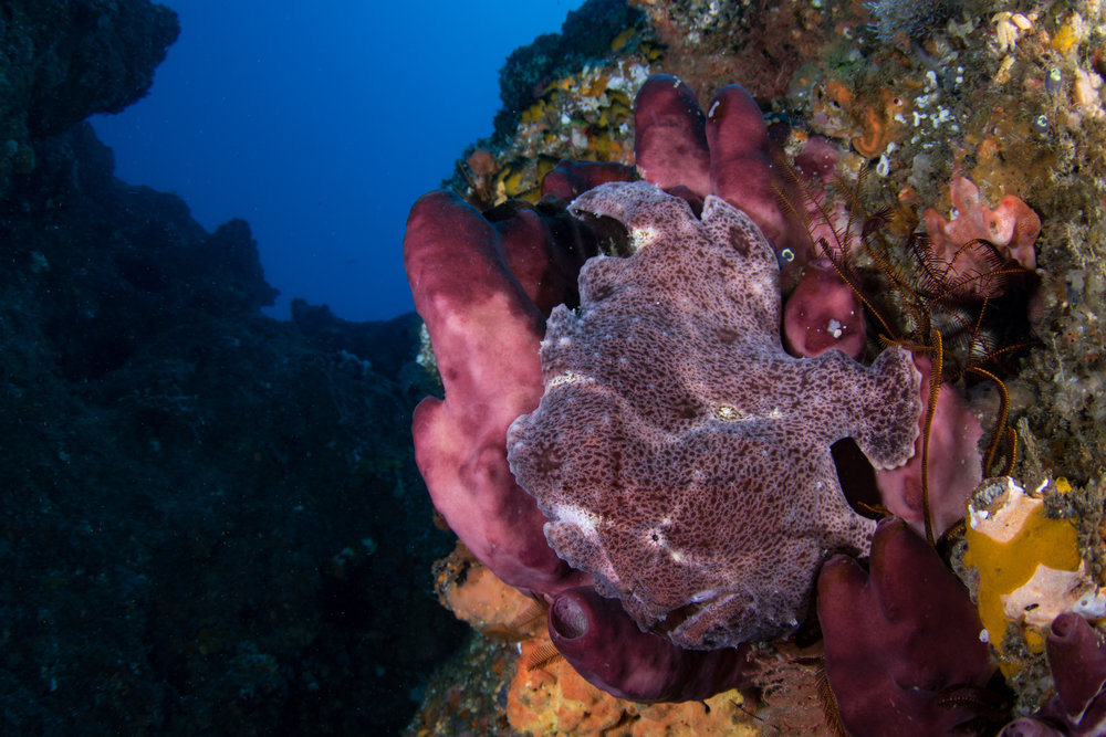 Frogfish at Outback-5156.jpg