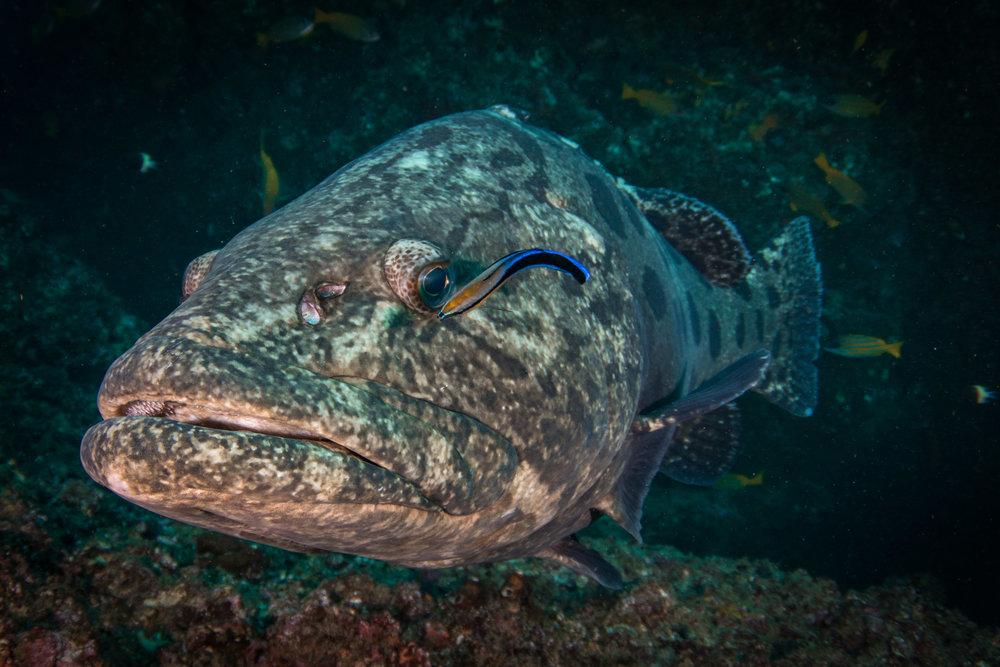 Cleaning grouper-7842v2.jpg