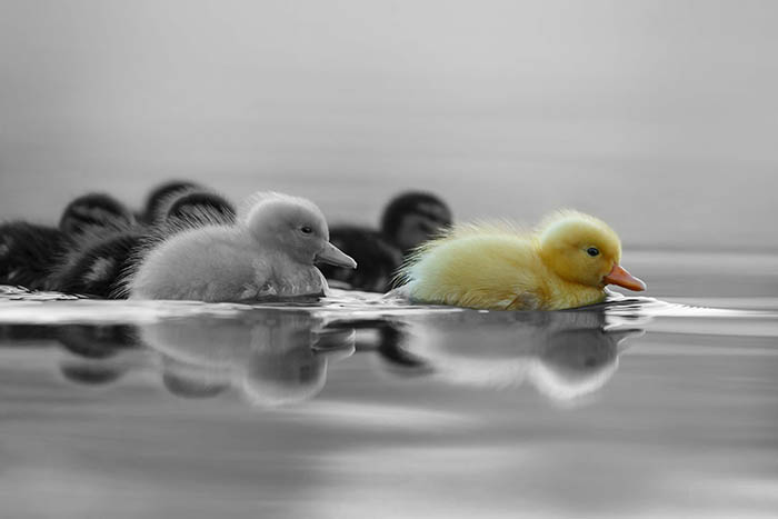 ducklings-bw-CALINEC.jpg