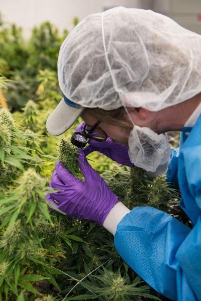 Curaleaf marijuana plantsCURALEAF