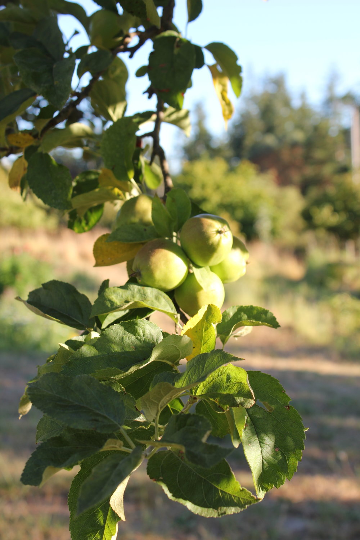apples blooming at plum nelli farm.JPG