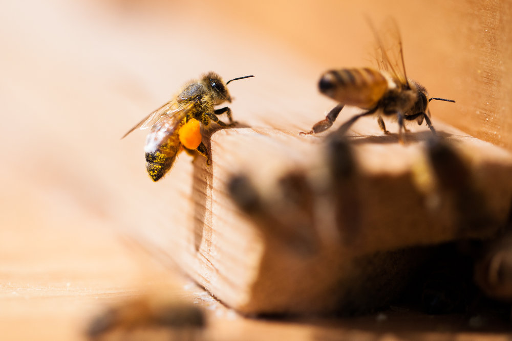 A forager returning to the hive with pollen.