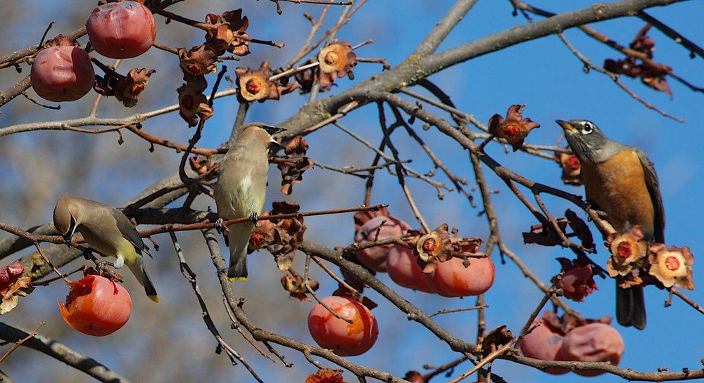 Cedar Waxwing with persimmons