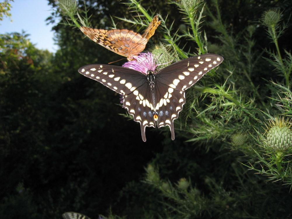Black Swallowtail - male - dorsal - 2.JPG