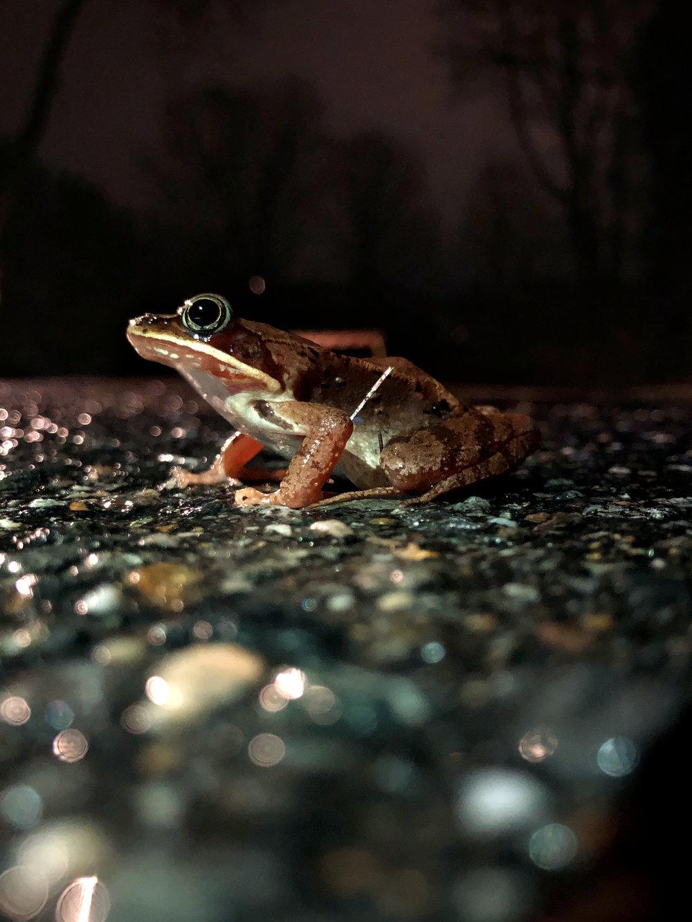 A volunteer's flashlight lights up a migratory wood frog. (Anna Miller/Animalia Podcast)