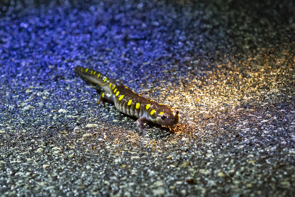 A spotted salamander crosses the road to get to a wetland to breed. Spotted salamanders practice site affinity, and return year-after-year to the same breeding sites. (Anna Miller/Animalia Podcast)
