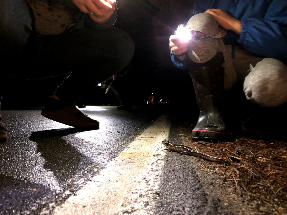 A spotted salamander is spotted by Salamander Crossing Brigade volunteers and safely transported across the road. Adult spotted salamanders range from six to eight inches long, and are usually gray or black in color with bright yellow dots. (Anna Miller/Animalia Podcast)