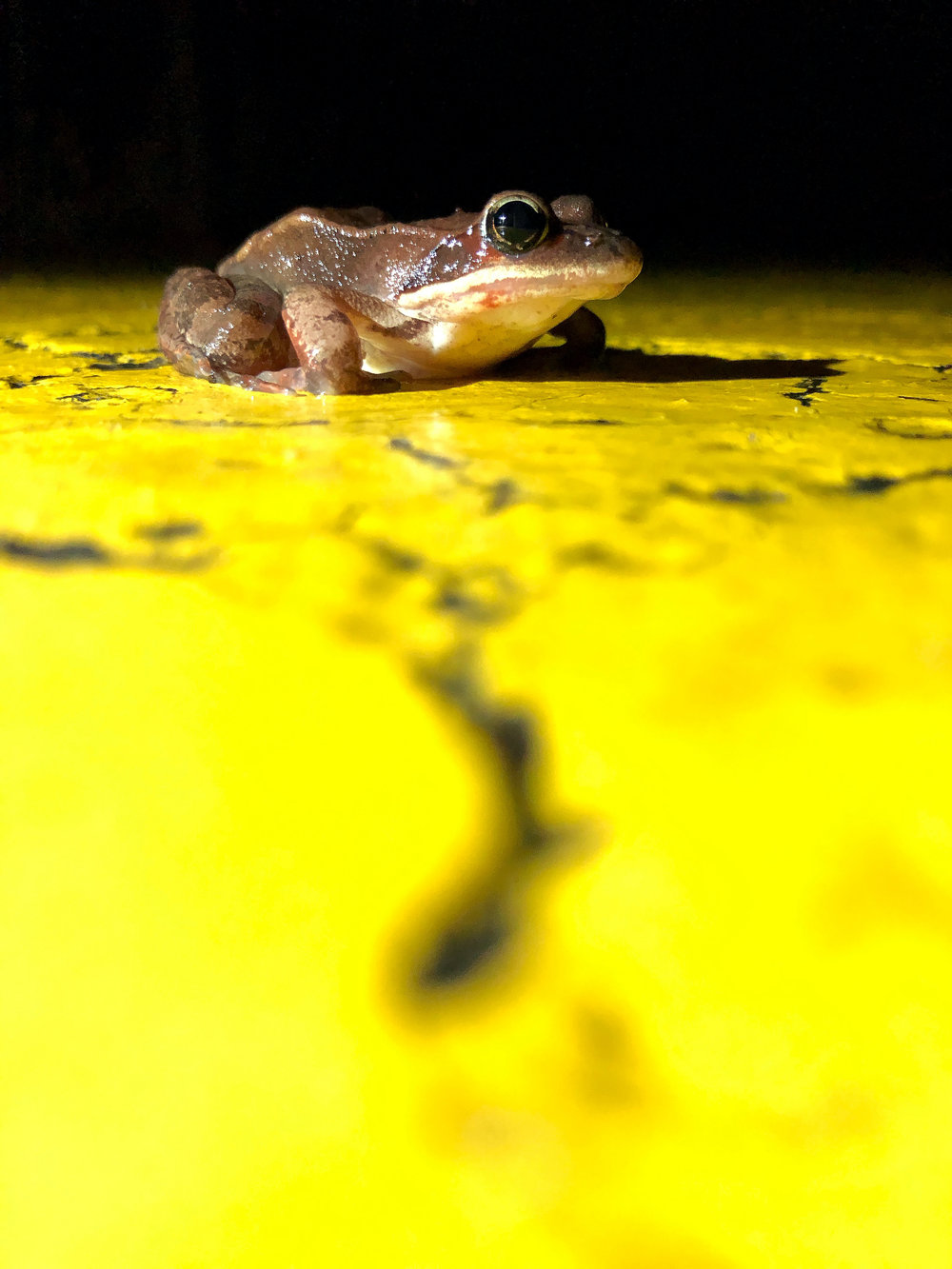 A wood frog pauses on the double yellow line before migrating back to the woods during a warm, spring night. (Anna Miller/Animalia Podcast)