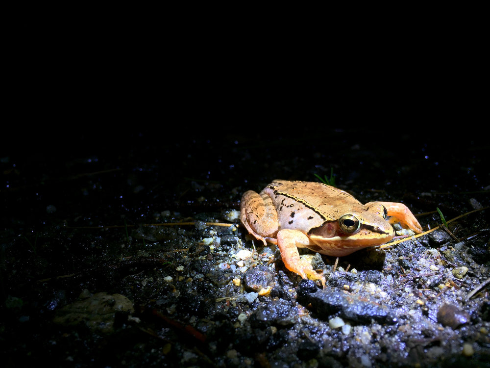 A wood frog is revealed in the beam of a volunteer's flashlight as he/she leaves the safety of the wetland and attempts to cross the road. (Anna Miller/Animalia Podcast)