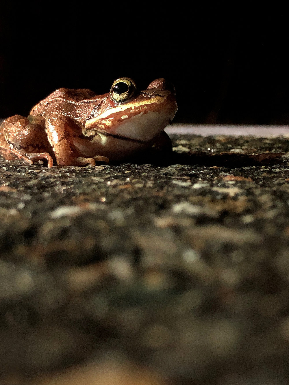 Wood frogs have evolved to freeze solid over the winter. They thaw out in early spring and migrate to local vernal pools and wetlands to breed and deposit eggs. (Anna Miller/Animalia Podcast)