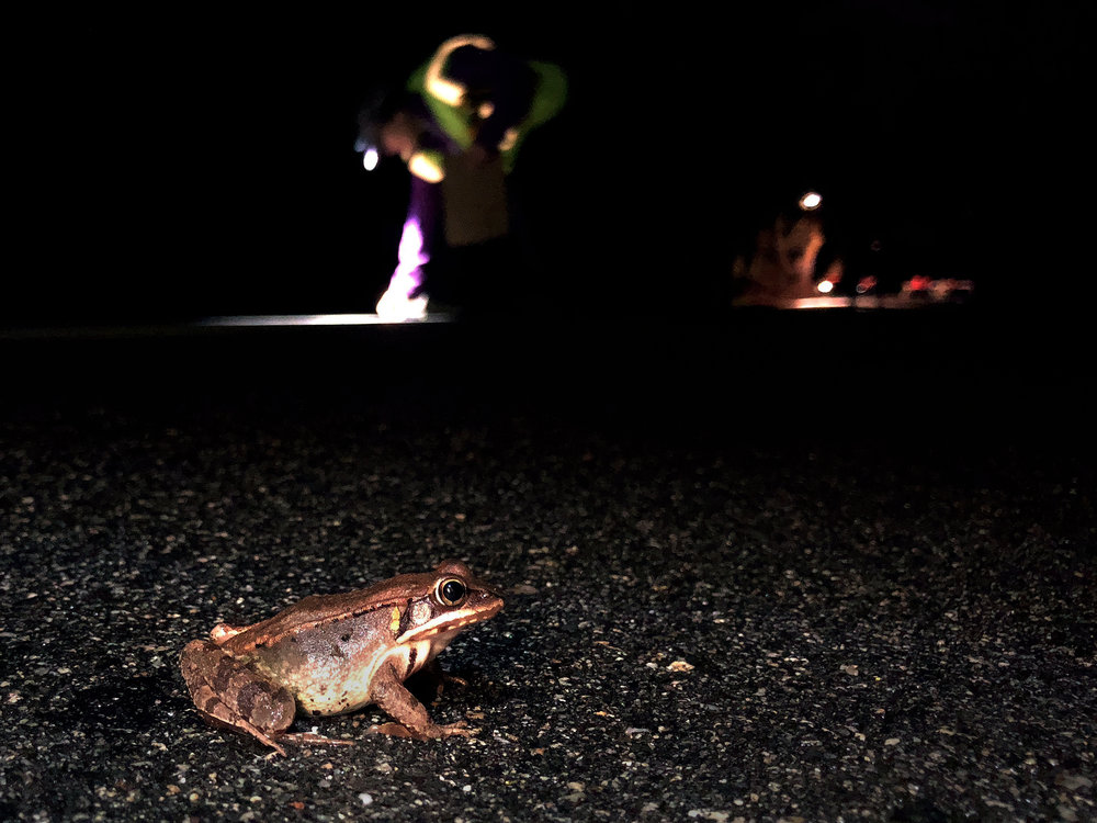 A wood frog crosses the road, moving out of the breeding wetlands and back to the forest during a warm, rainy night in Keene, NH. (Anna Miller/Animalia Podcast)