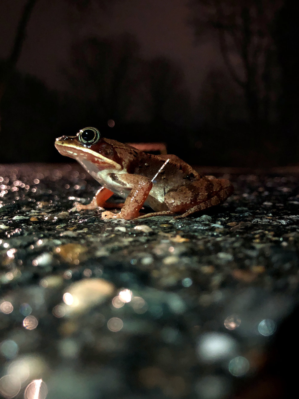 A volunteer's flashlight lights up a migratory wood frog. (Anna Miller/Animalia Podcast)