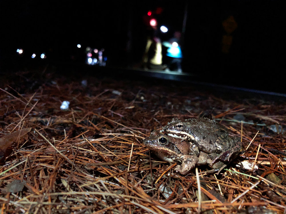 Spring is in the air! Two frogs mate on the side of the road during a rainy night during the amphibian migration season. (Anna Miller/Animalia Podcast)