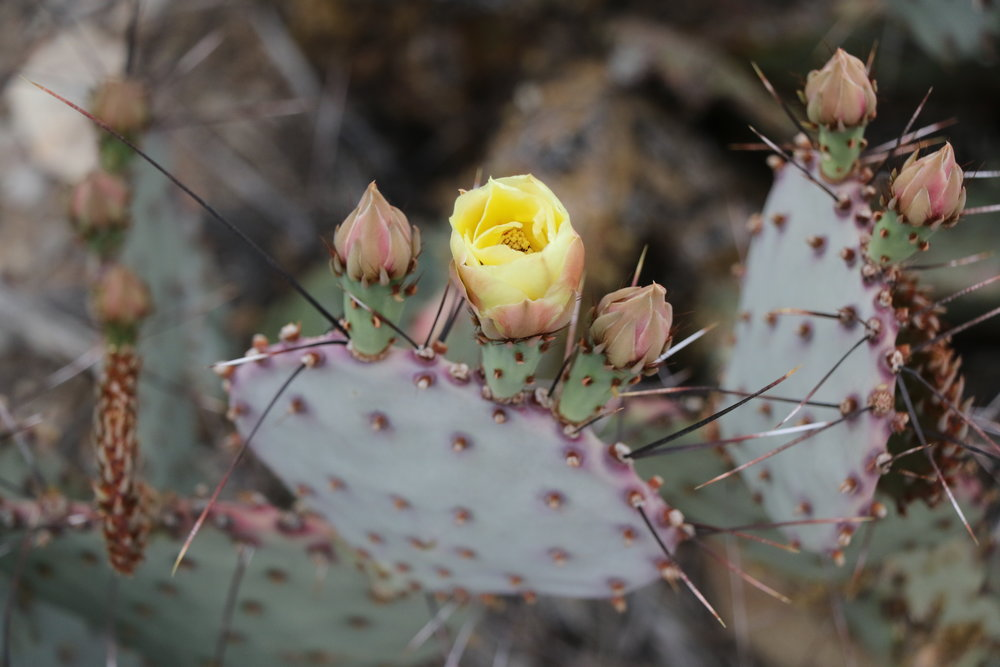 Prickly pear, Big Bend National Park