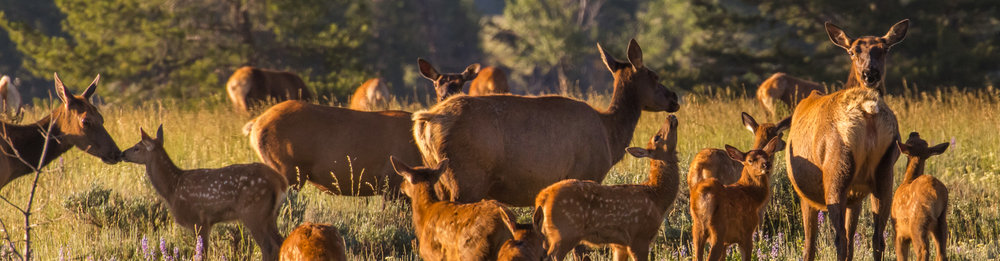 newborn spotted elk calves and mothers