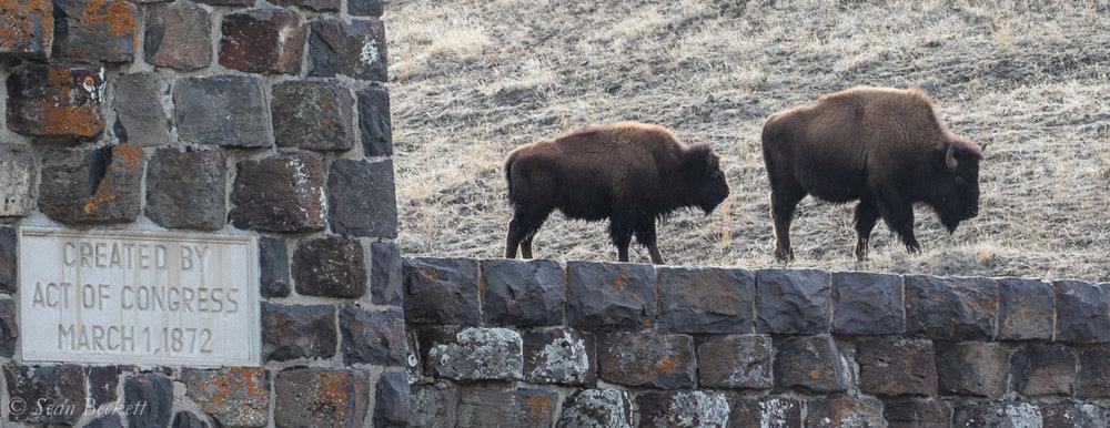 NHAJan31_18_Yellowstone-1.jpg
