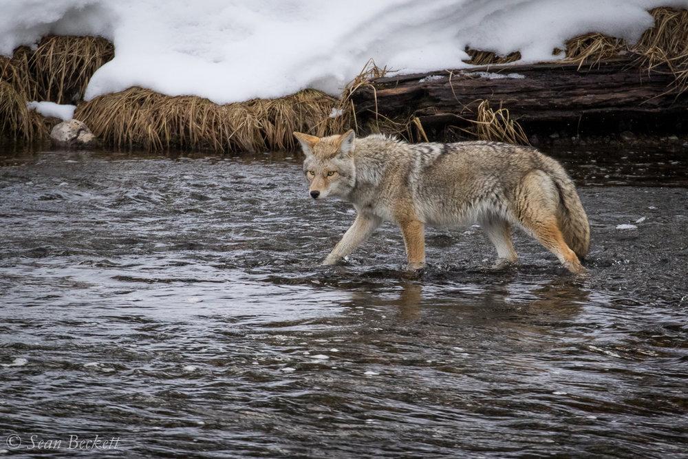 NHAJan31_18_Yellowstone-5.jpg
