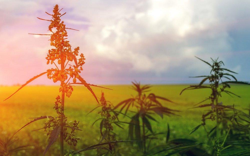 Marijuana plants flowering male