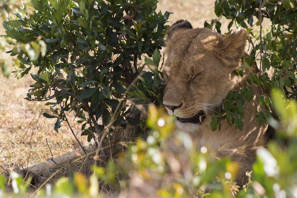 wild lion sleeping in kenya