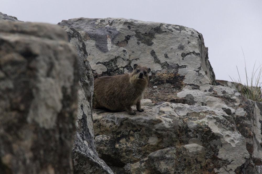 rock hyrax on table mountain