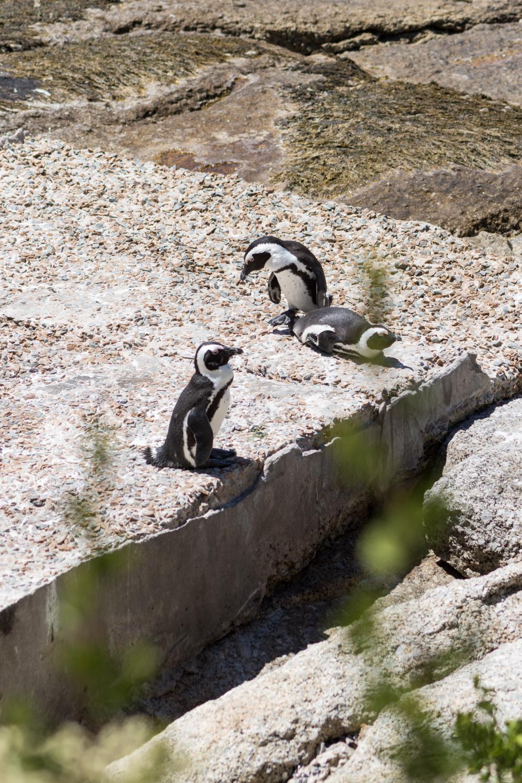 penguins on rocky beach
