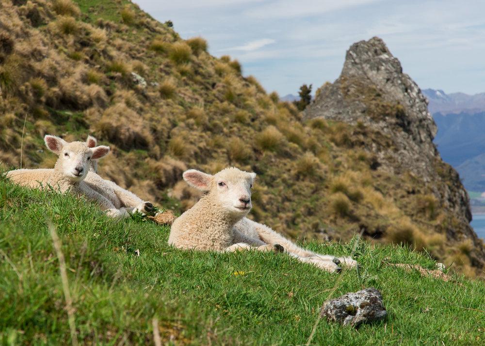 lambs_newzealand_mountain