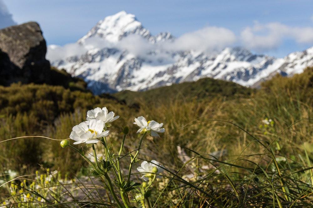 mountcook_flower_newzealand