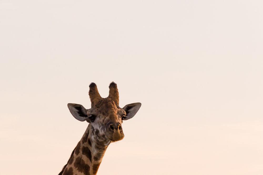 giraffe head at sunrise