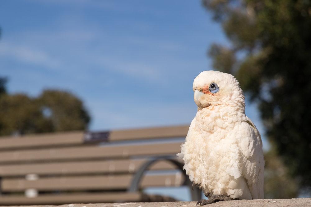 australia_cockatoo_bird-1.JPG