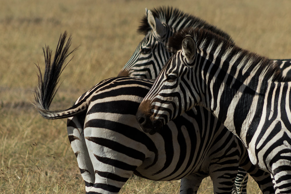 kenya_zebras-2.JPG