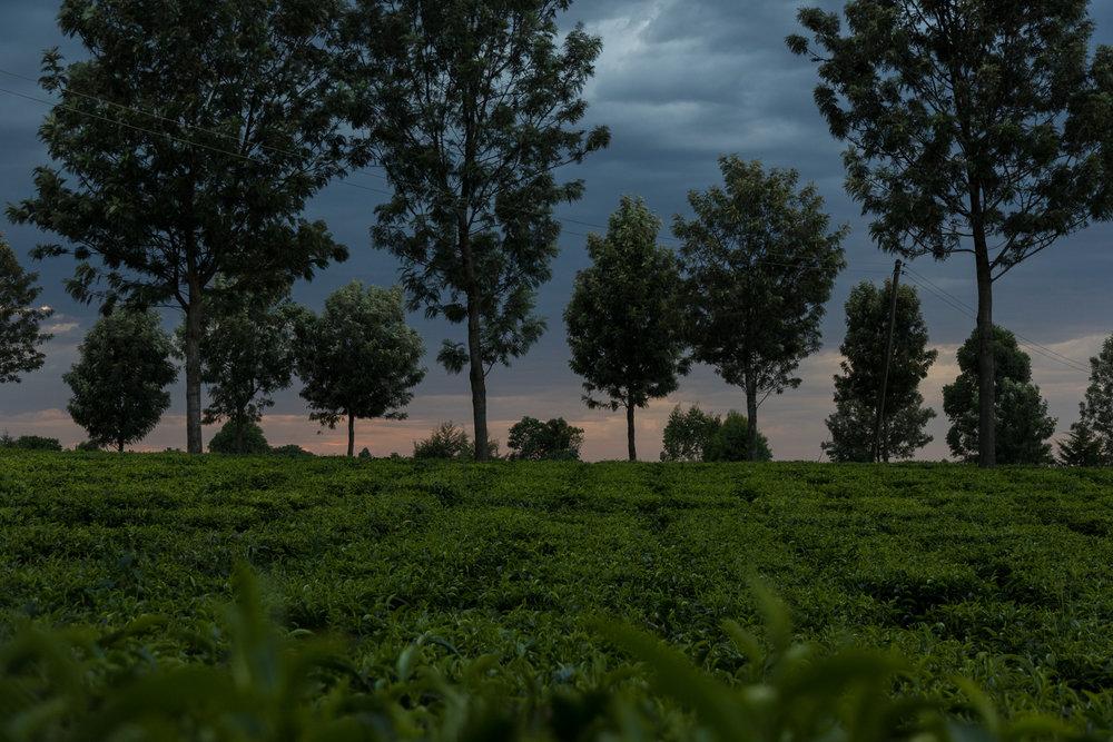 kenya_teaplantation_sunset-1.JPG