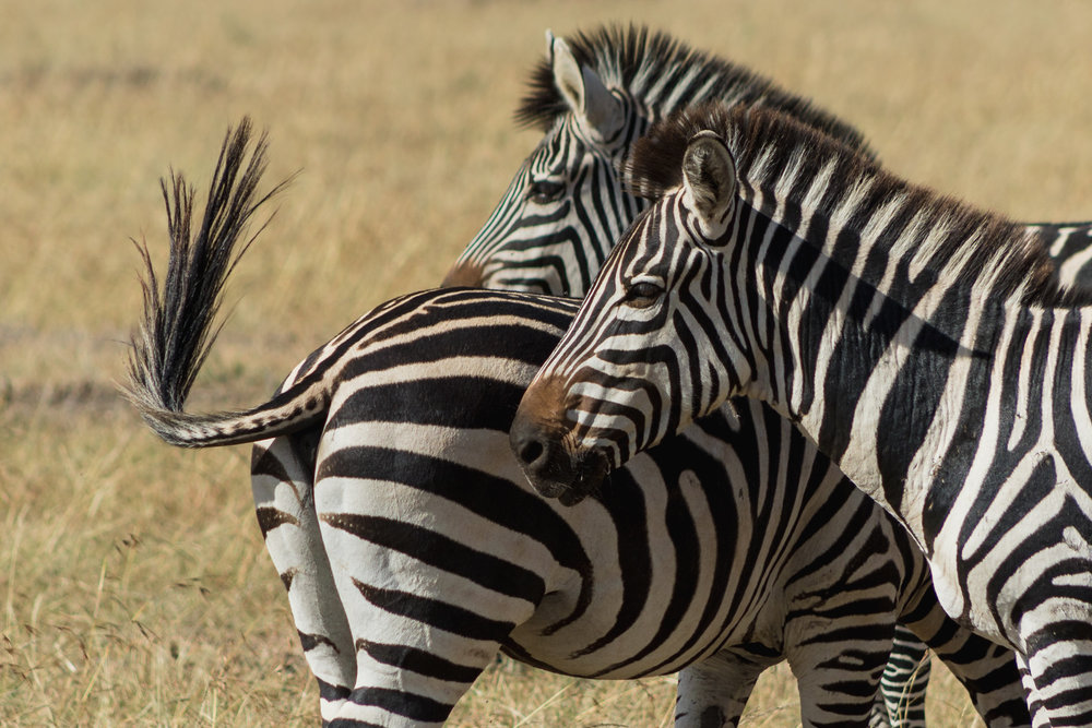zebras huddled together in the Masai mara reserve