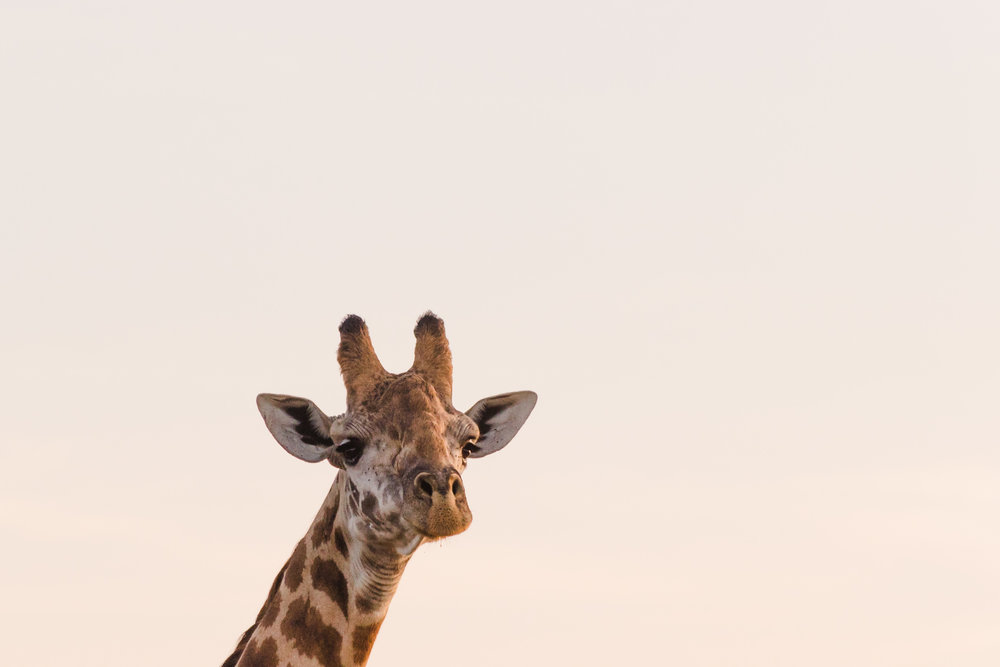 giraffe at sunrise on safari in kenya