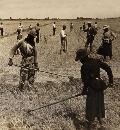 Activity of hoeing rice in South Carolina fields