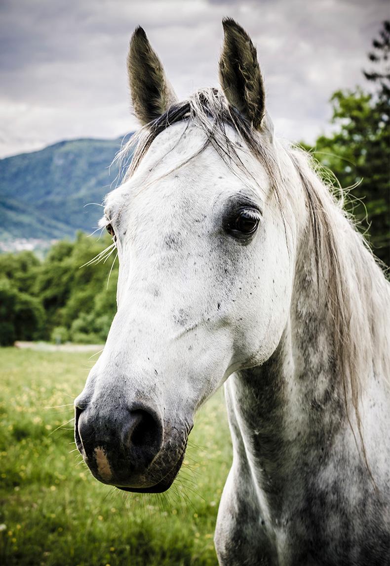 Grey-Horse-Close.jpg