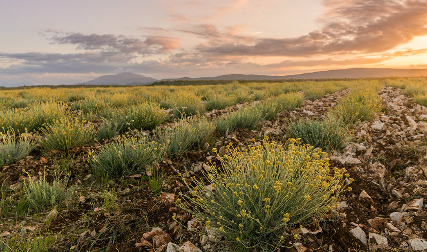 YL Dalmatia Aromatic Farm—Split, Croatia. This farm was founded with the intention of becoming a sustainable source for the popular Helichrysum oil, but the location has since continued to grow and cultivate even more botanicals.