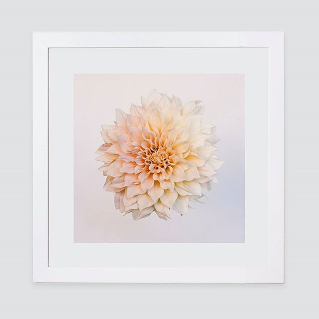 My floating beauty print comes in a square as well as the usual horizontal style, and I must say, I am loving it 😊 #floralphotography #floralseries #colourlife